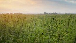 CLI to Begin Trial Farming of Industrial Hemp