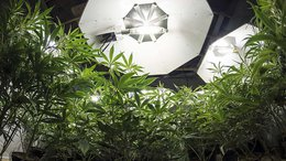 MXC Moves Towards Commercial-Scale Pot Production with GMP Manufacturing Licence